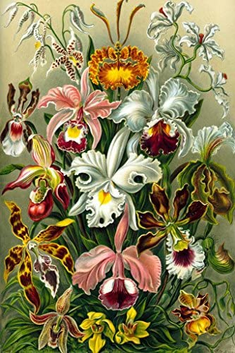 Orchidae Orchids Flowering Plants Nature Ernst Haeckel Cool Wall Decor Art Print Poster 12x18: Posters & Prints