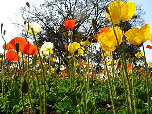 ShanefPierce Californian Mixed Color Poppy Seeds - Escholtzia californica 1600 to 4,000,000 California (2g= 1600 Seeds) (2g=1600 Seeds) (5g= 4000 Seeds): Home & Kitchen